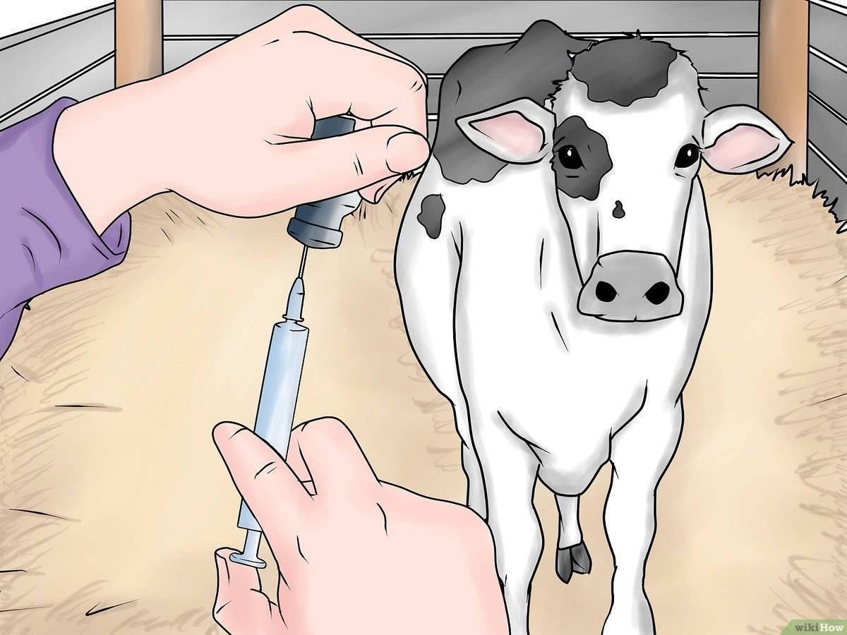 Как сделать укол корове внутримышечно видео