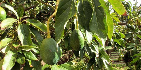Как вырастить и ухаживать за авокадо: условия выращивания авокадо из косточки