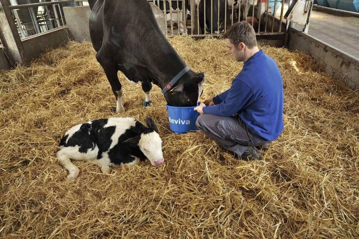 Отел коровы: признаки и подготовка к родам