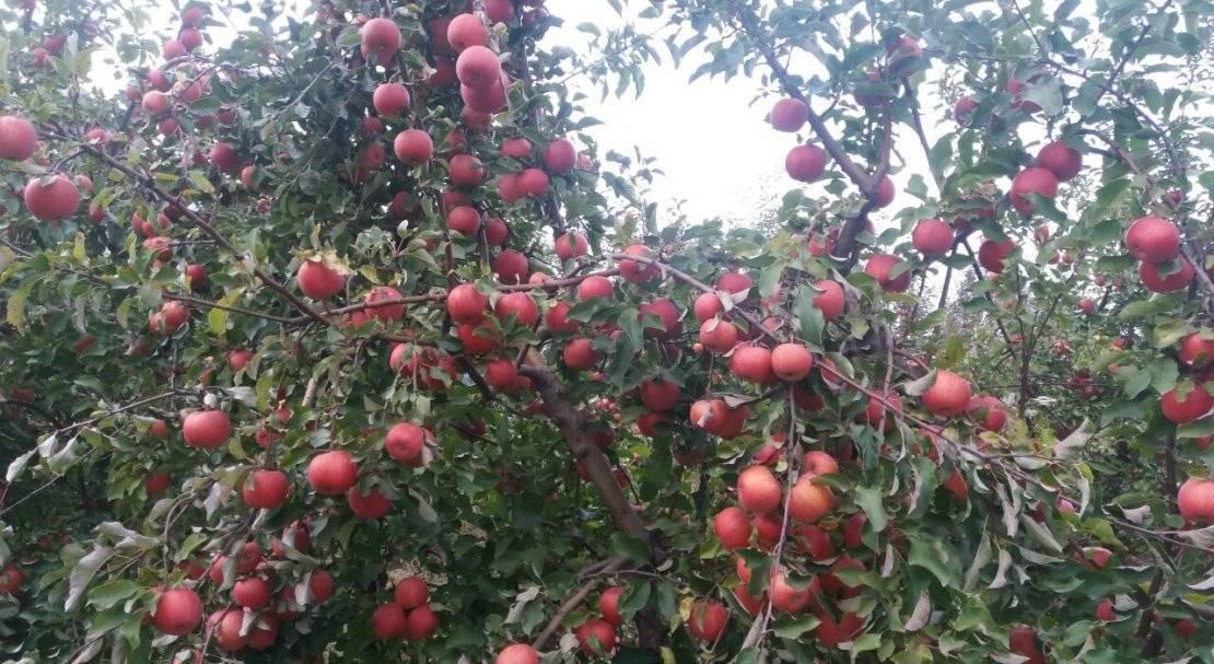 Описание яблони старкримсон