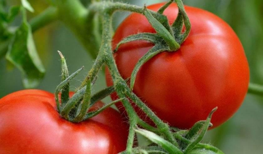 Лучший представитель холодостойких сортов для открытого грунта — томат снежная королева: описание и отзывы
