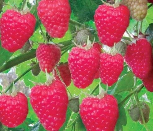 Особенности выращивания малины крепыш