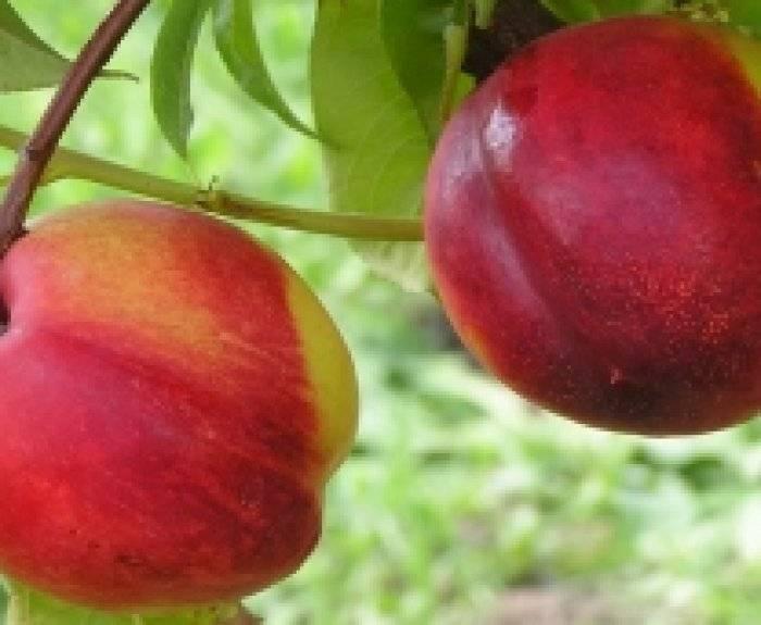 Уход за персиком осенью: обрезка, подкормка и подготовка к зиме