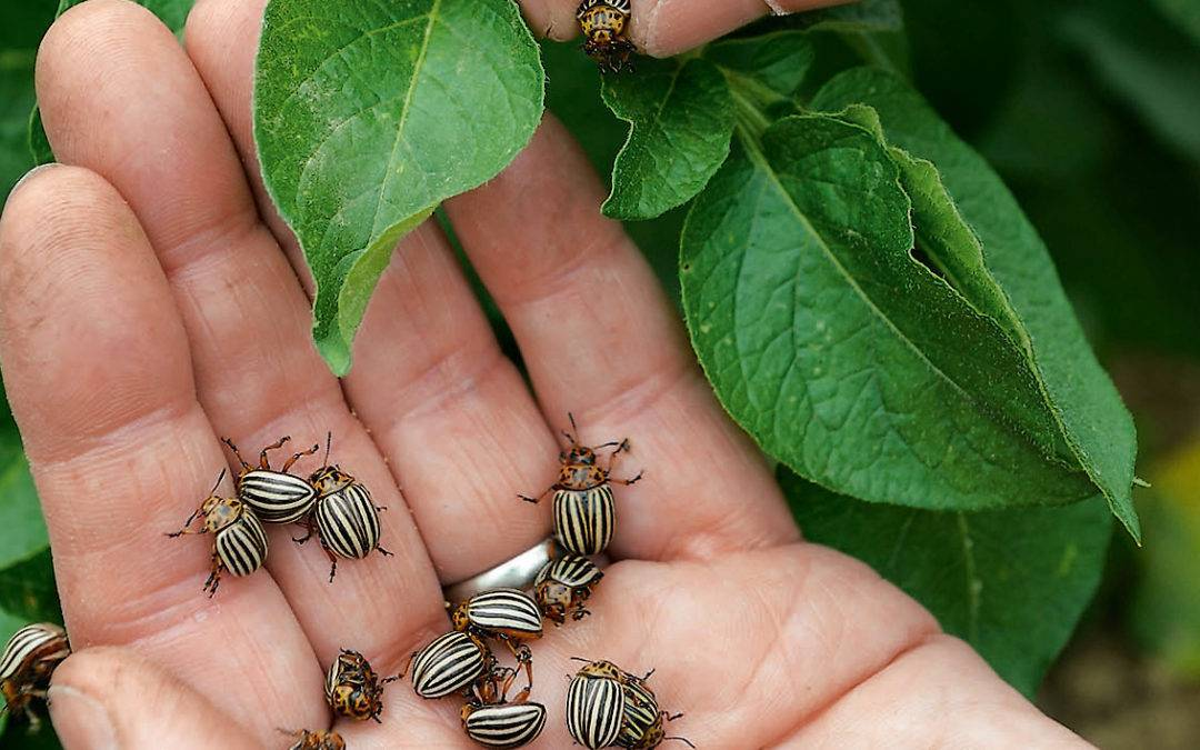 Как использовать порошок горчицы для борьбы с колорадским жуком?