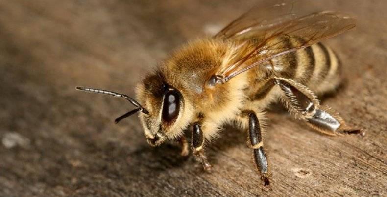 Породы пчёл: описание и фото самых популярных пород пчёл