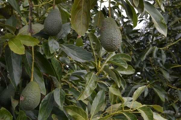 Авокадо сорта