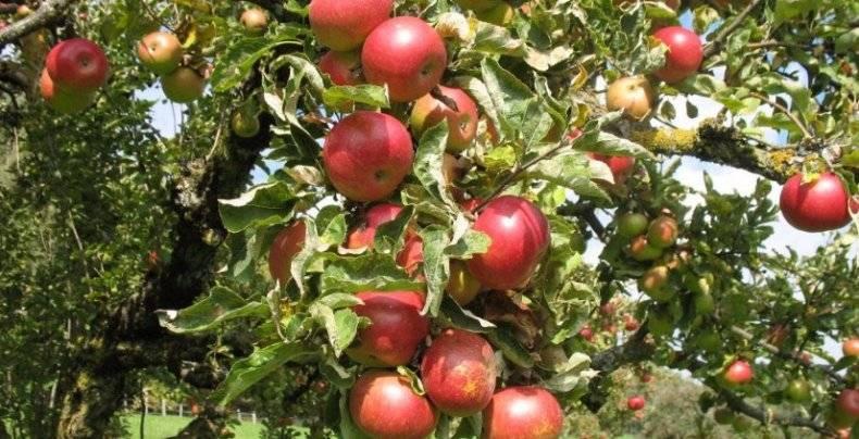 Описание яблони сорта анис свердловский: характеристики, фото, отзывы, видео