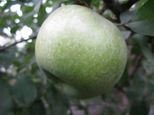 Яблоня симиренко: особенности сорта, условия ухода и выращивания
