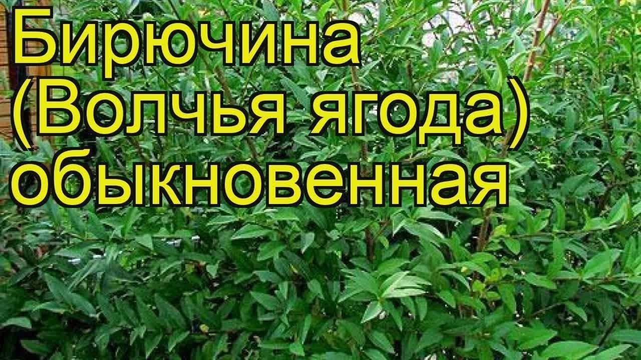 Бирючина обыкновенная: описание размножения из семян, посадка и выращивание, уход за живой изгородью и фото