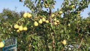 Особенности выращивания лучших колоновидных сортов груши