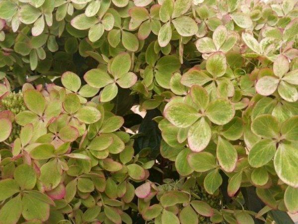 Гортензия «пастель грин» (27 фото): описание сорта гортензии метельчатой. почему плохо растет? примеры использования в ландшафтном дизайне