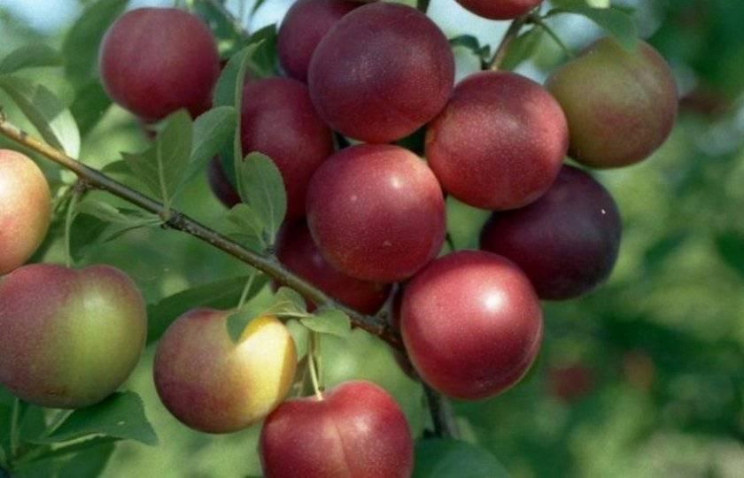 Алыча: лучшие сорта,  уход за деревьями, болезни и  вредители
