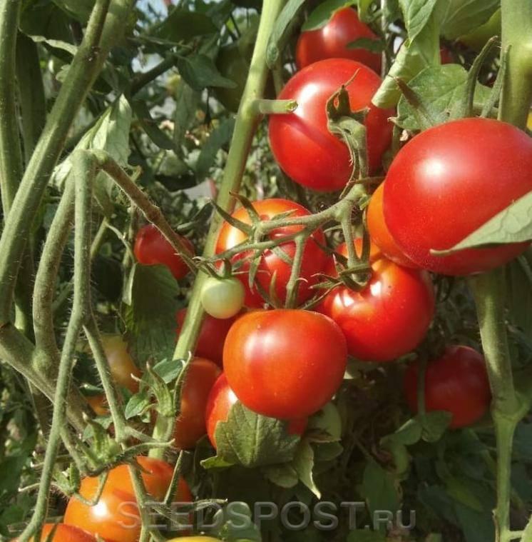 Сорт томата «медовые пальчики f1»: описание, характеристика, посев на рассаду, подкормка, урожайность, фото, видео и самые распространенные болезни томатов