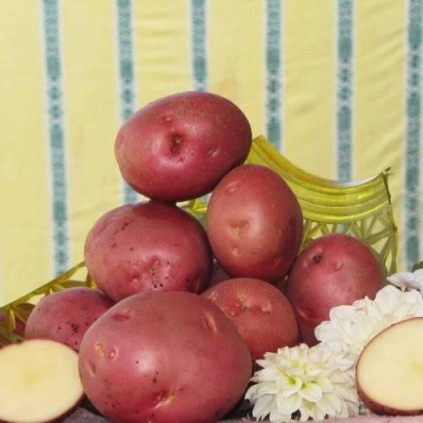 Картофель алладин — описание сорта, фото, отзывы, посадка и уход