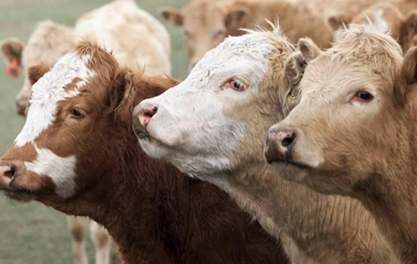 Об утверждении правил по профилактике и борьбе с лейкозом крупного рогатого скота (минюст n 1799 04.06.99), приказ минсельхоза россии от 11 мая 1999 года №359