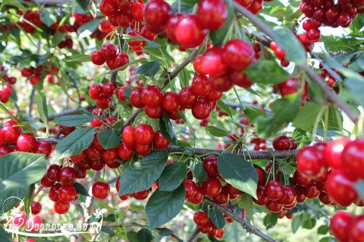 Особенности и способы подкормки вишни
