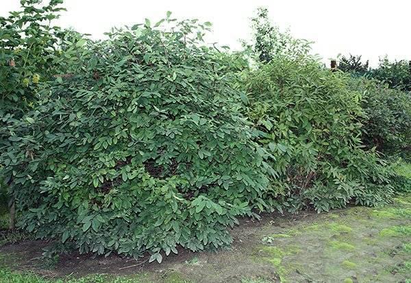 Подкормка вишни весной и летом: чем удобрить для хорошей завязываемости плодов и высокого урожая