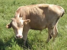 Опасность и лечение тимпании рубца или вздутия у коров