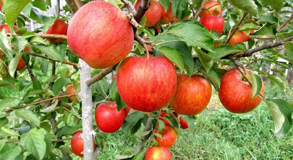 Летний сорт яблони женева эрли: характеристика и уход