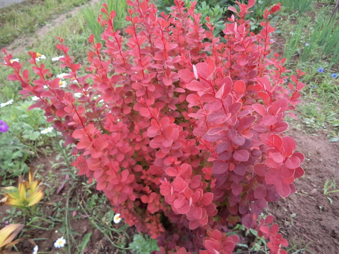 Агротехника сорта барбариса red rocket в открытом грунте: как ухаживать