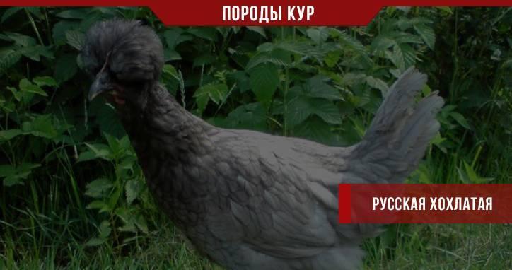 Уникальность русской хохлатой породы кур