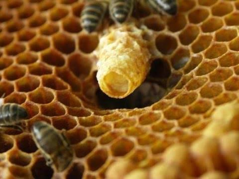 Значение роевых и свищевых маточников для пчеловода