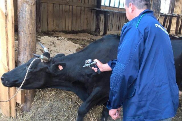 Почему теленок и корова потеют по утрам и у них мокрая спина — что делать, если появляется пот на животных в сарае: причины и лечения — moloko-chr.ru