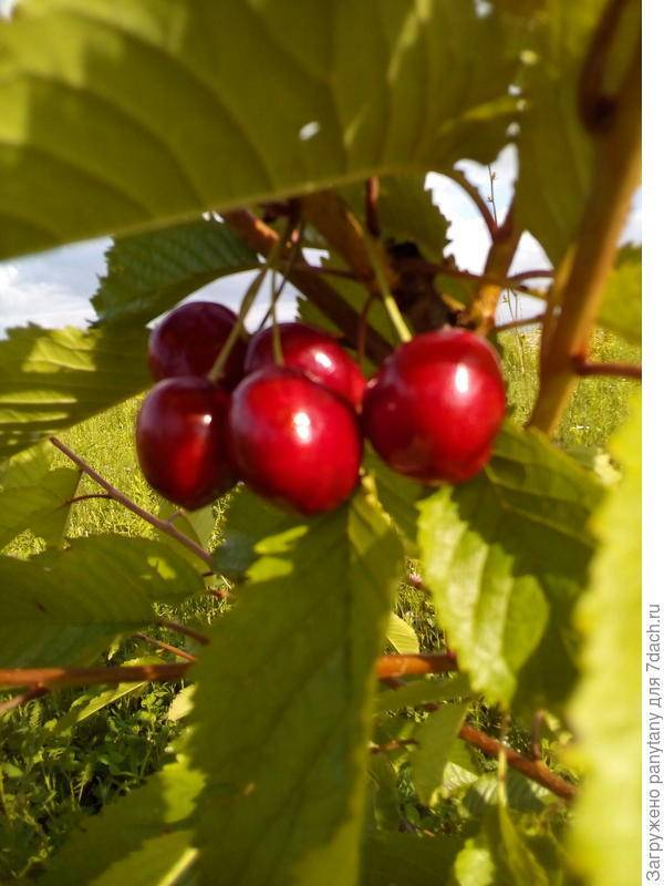 Выращивание черешни аделина - общая информация - 2020