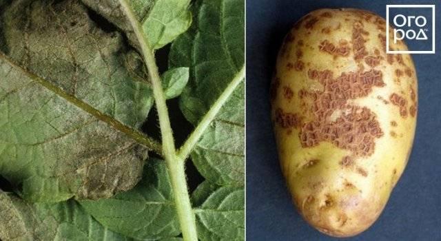 Парша на картофеле, как бороться?