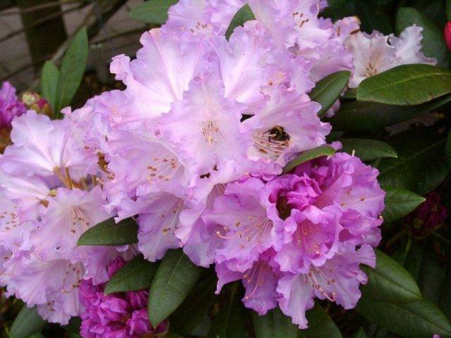Рододендрон якушиманский: посадка, зимовка, вредители
