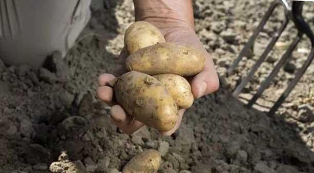 Когда можно копать молодую картошку после цветения