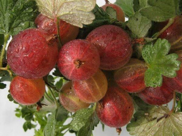 Когда собирают крыжовник: уход и советы для лучшего урожая