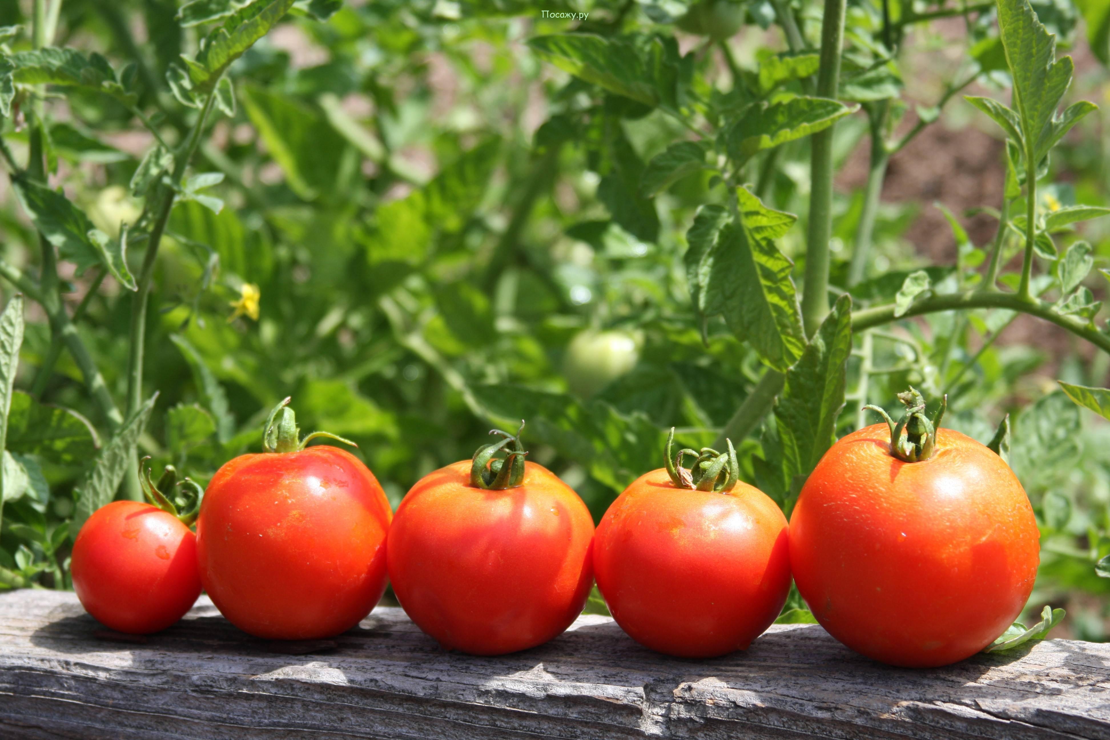 Как собрать и сохранить семена помидоров в домашних условиях