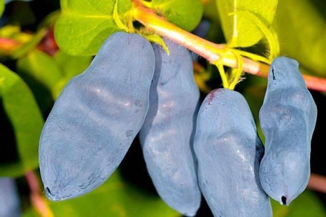 Жимолость Изюминка: опылители, посадка и уход, отзывы огородников