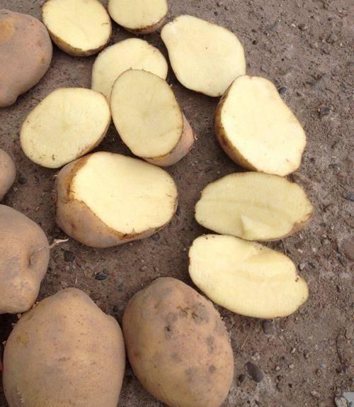 Картофель колобок: описание и характеристика, отзывы