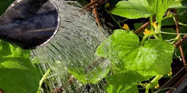 Огурец «клавдия f1»: описание гибридного сорта, фото и отзывы