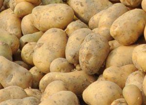 Картофель- сорт адретта