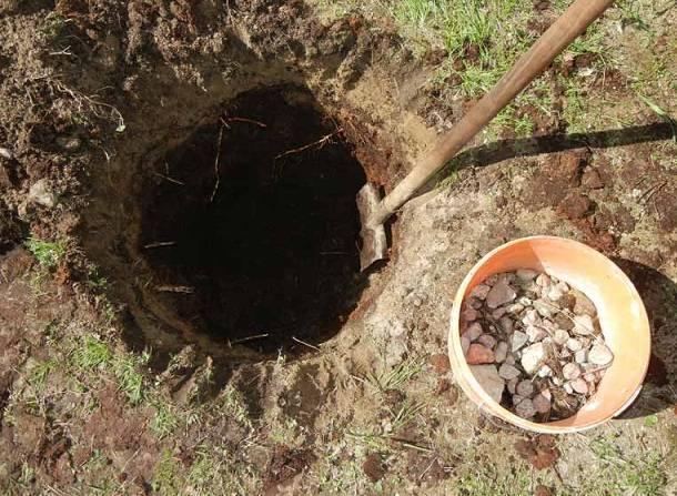 Ель пицея глаука коника: выращивание в домашних условиях и открытом грунте