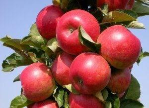 Сорт яблони кортланд