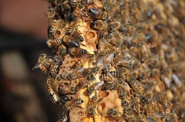 Роение пчел - начинающему пчеловоду