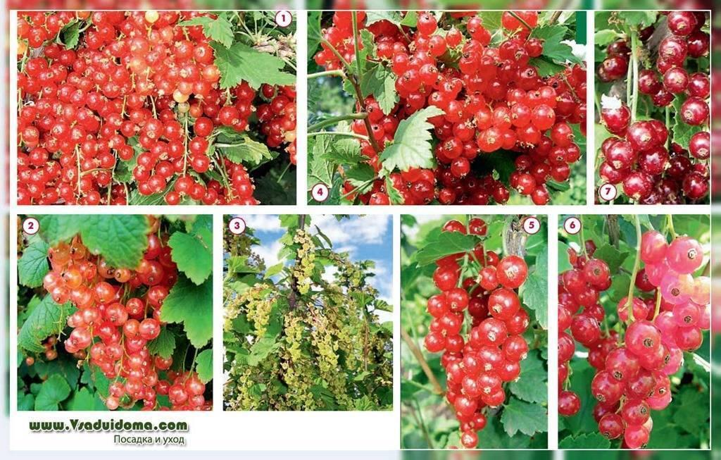 Красная смородина уральская красавица описание сорта фото отзывы