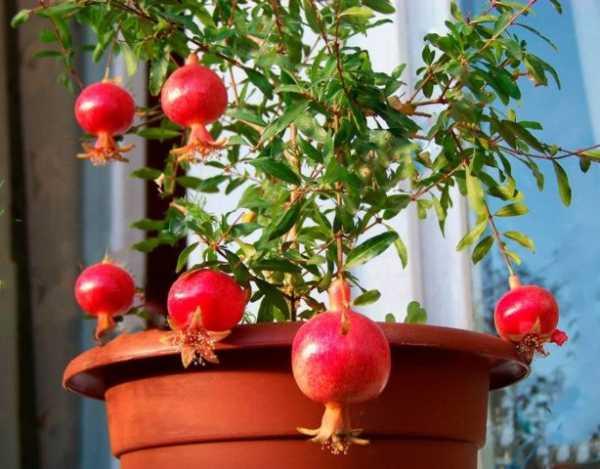 Комнатный гранат: домашний уход за растением