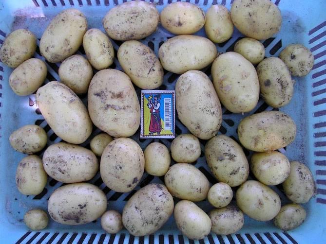 Сорт картофеля пикассо: особенности, посадка и уход