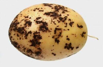 Почему чернеет картофель после варки и на хранении – решения