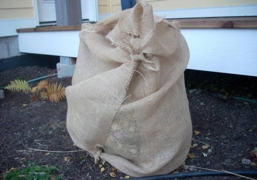 Как подготовить к зиме гортензию растущую в открытом грунте: советы (фото)