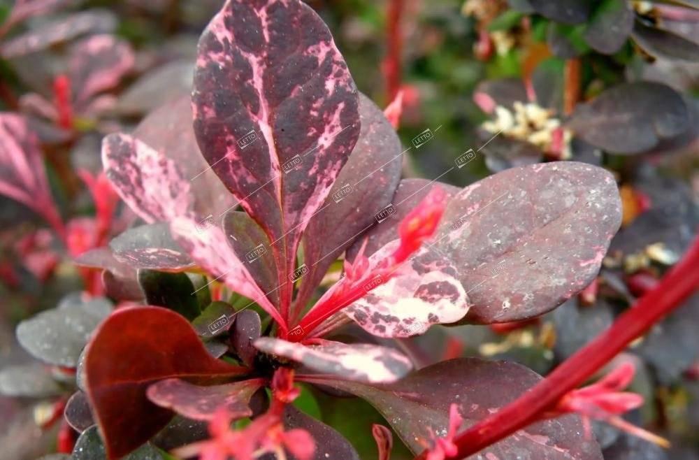 Агротехника выращивания барбариса роуз глоу (rose glow) в открытом грунте: как ухаживать