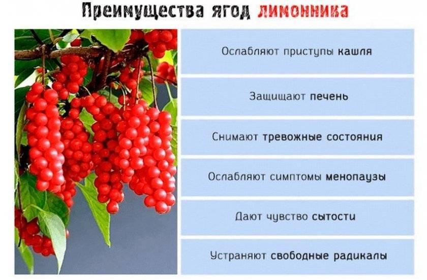 Особенности полезного состава и противопоказания ягод лимонника китайского