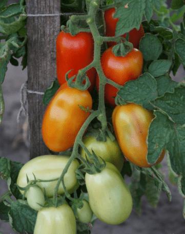 Описание сорта томата гроздевой и его характеристики