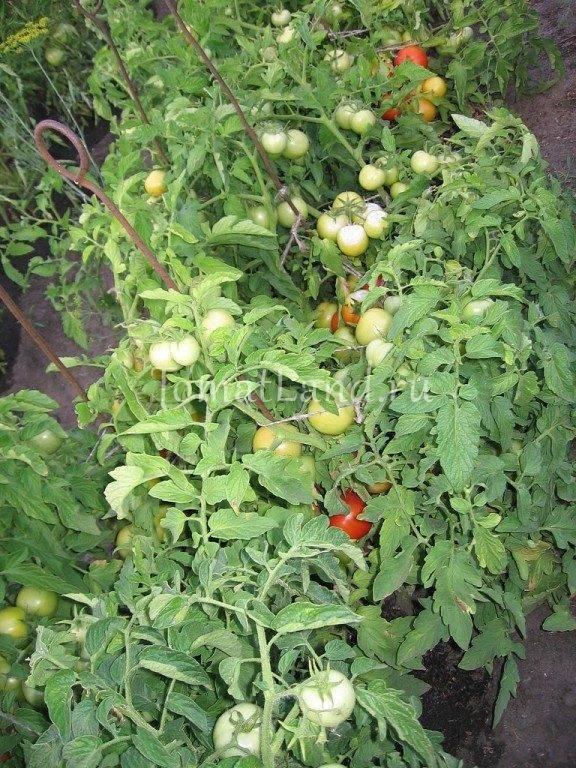 Томат анюта f1 отзывы фото урожайность