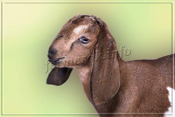 Описание породы англо-нубийских коз: отзывы о молоке и мясе